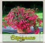 Бегония боливиенсис Босса Нова Роуз, 100 драже Профессиональная упаковка