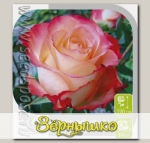 Роза чайно-гибридная КАБАРЕТ, 1 шт.