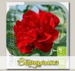 Роза плетистая БЕЛЬКАНТА, 1 шт.