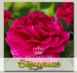 Роза Премиум ЛЯ МУР, 1 шт. NEW