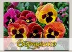 Виола крупноцветковая Маммот Сангрия Пунш, 100 шт. Профессиональная упаковка