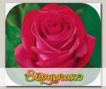 Роза чайно-гибридная ЭКСКАЛИБУР, 1 шт. NEW