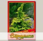 Кипарисовик Туполистный «Fernspray Gold», 0,2 г