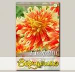 Георгин декоративный BODACIOUS, 1 шт. NEW