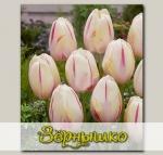 Тюльпан простой поздний CAMARGUE, 5 шт. NEW