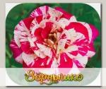 Роза чайно-гибридная МАРВЕЛЬ, 1 шт. NEW