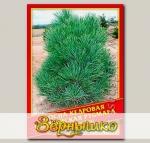Сосна Кедровая Европейская «Pygmaea», 5 шт.